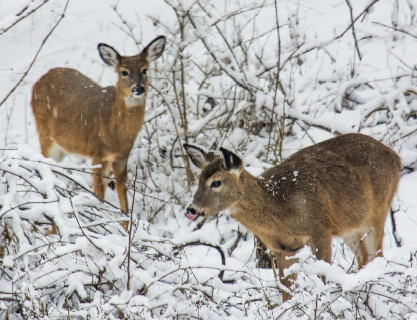 Two deer in the snow