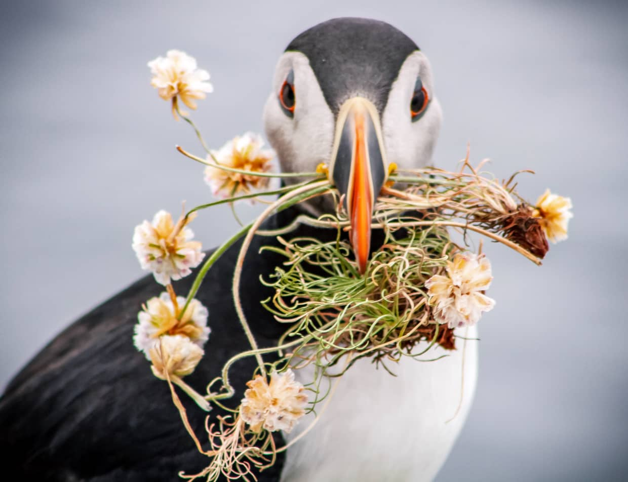 A Puffin holds plants in its beak